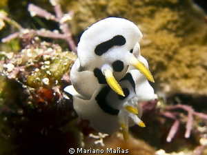 Diana Magnificent Slug (Chromodoris dianae) by Mariano Mañas